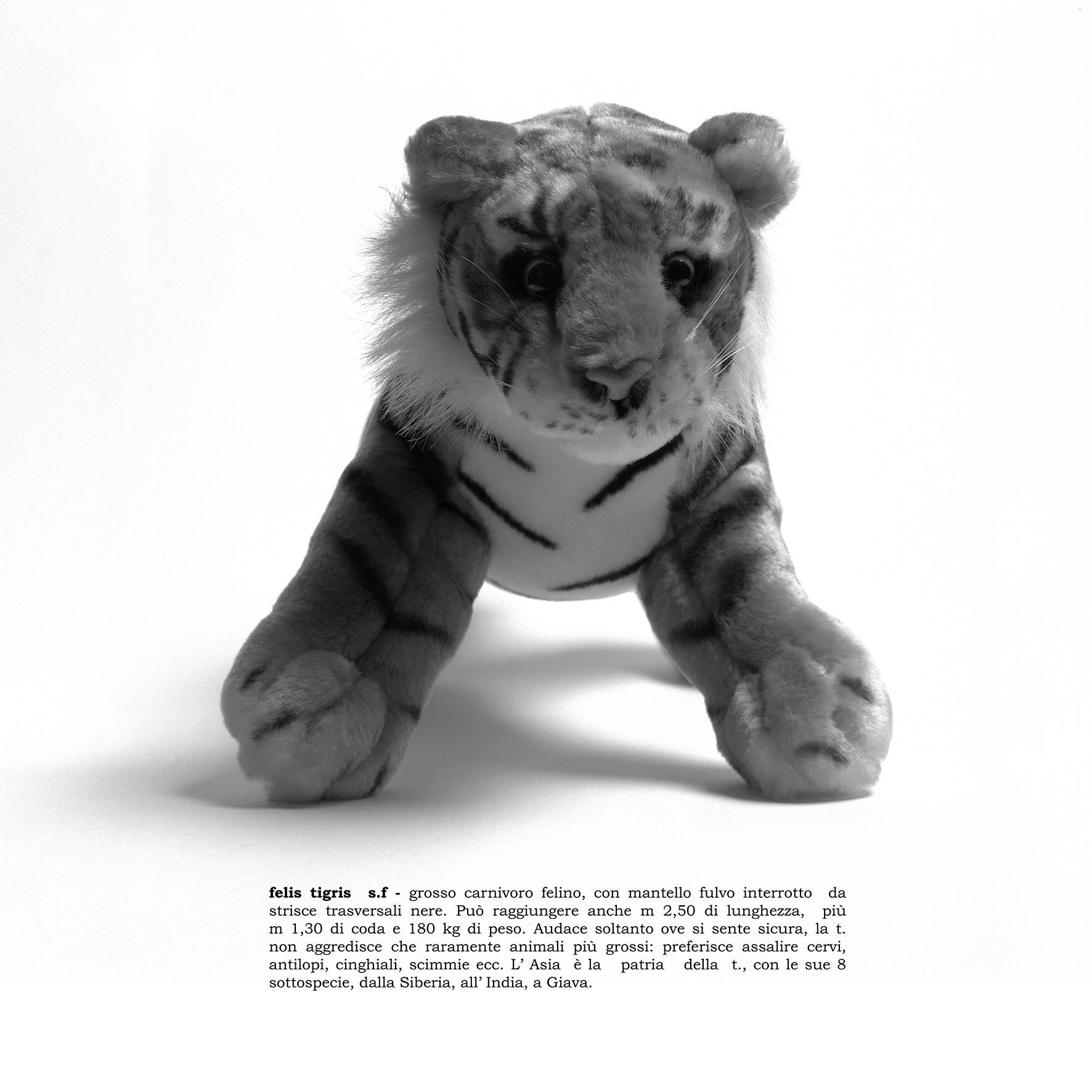 felis tigris